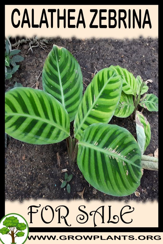 Calathea zebrina for sale