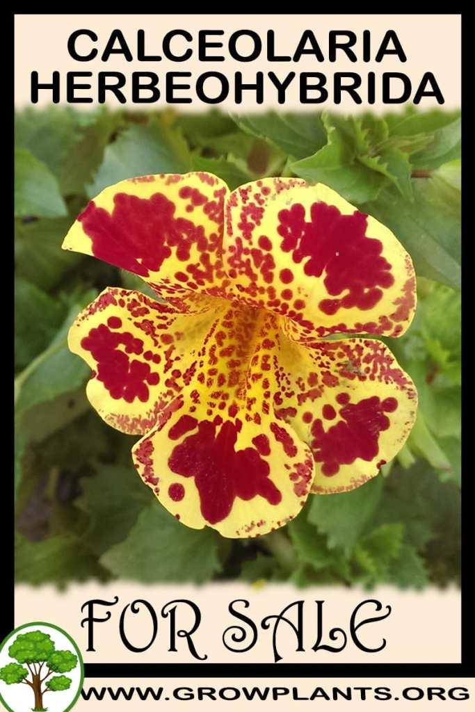 Calceolaria Herbeohybrida for sale