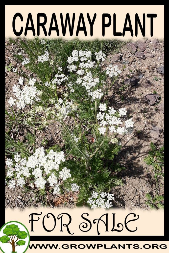 Caraway plant for sale