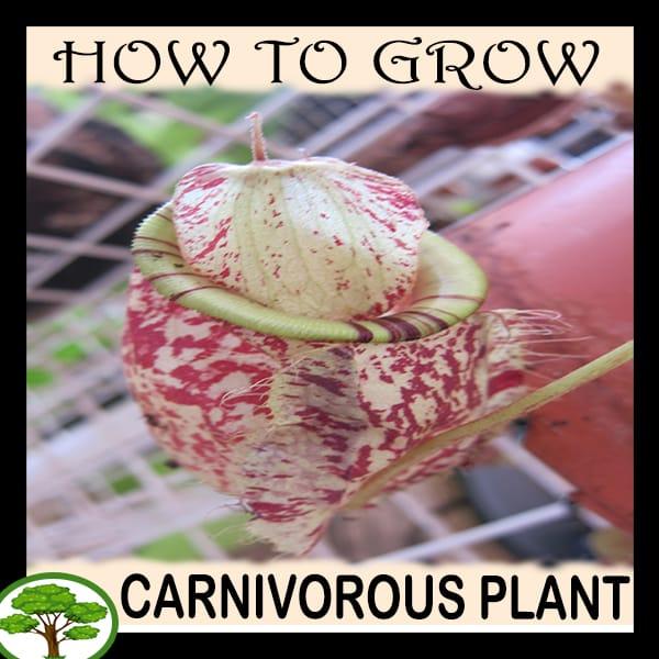 Carnivorous plant