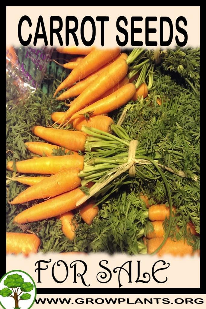 Carrot seeds for sale