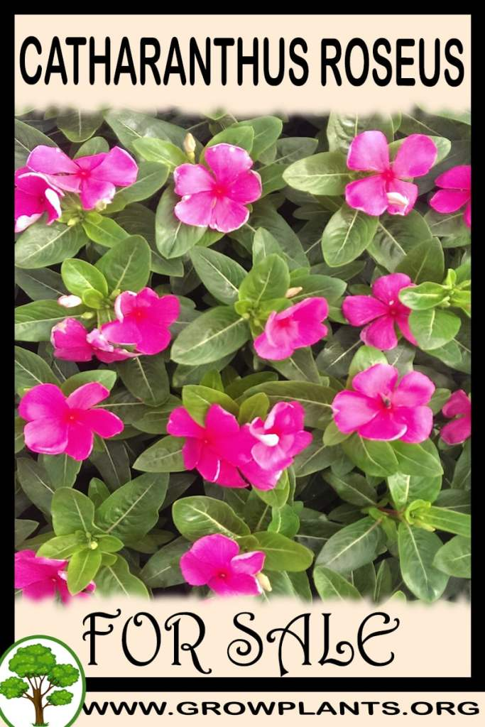 Catharanthus roseus for sale