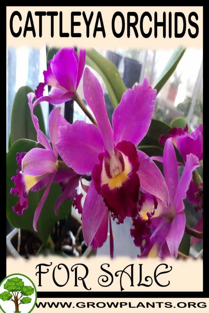Cattleya orchids for sale