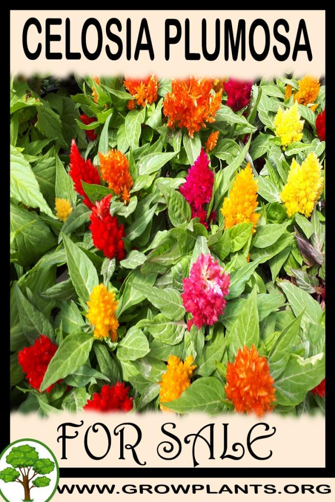 Celosia plumosa for sale