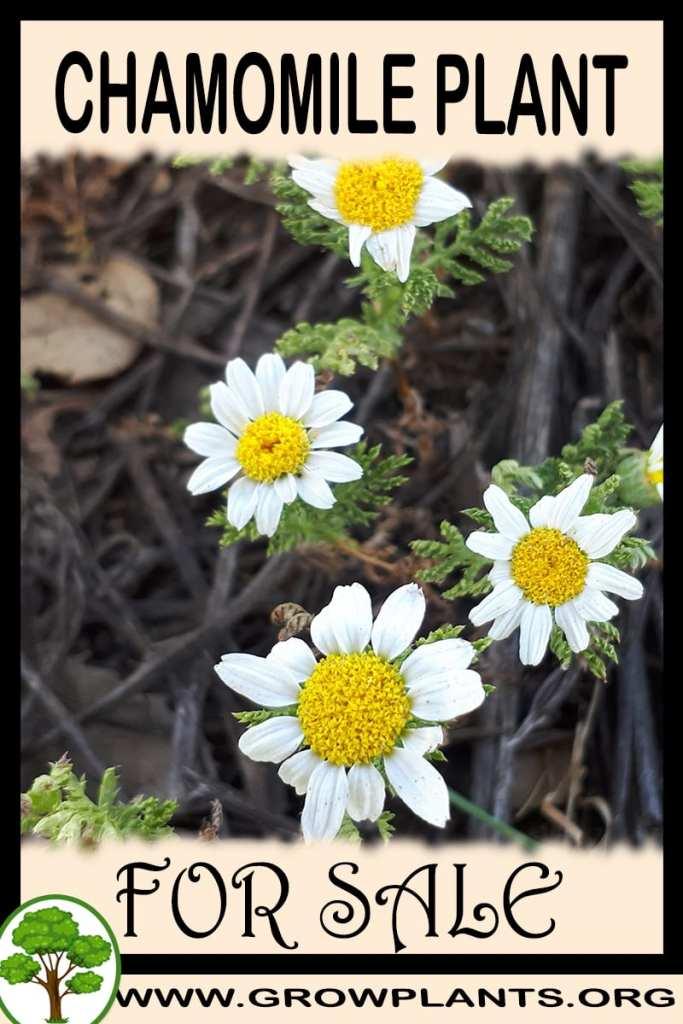 Chamomile plant for sale