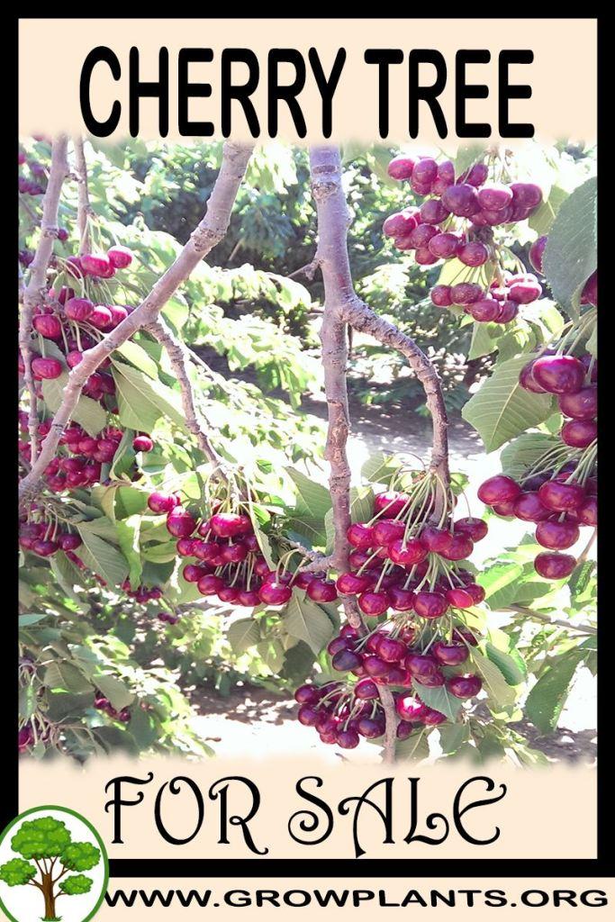 Cherry tree for sale