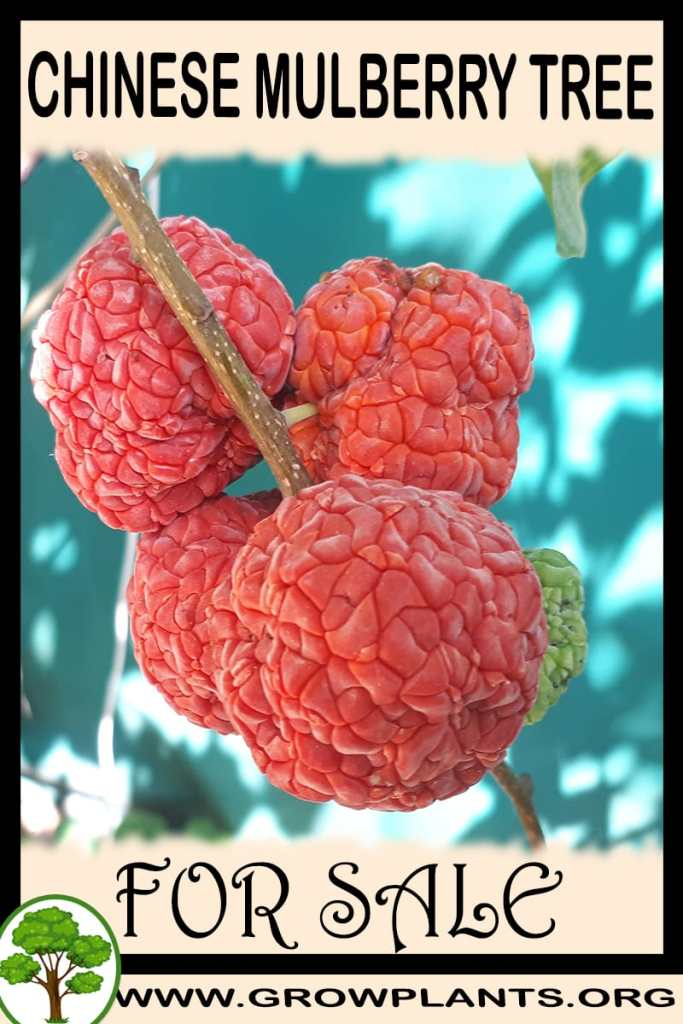 Chinese mulberry tree for sale