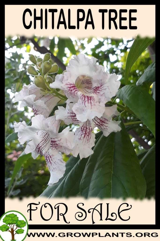 Chitalpa tree for sale