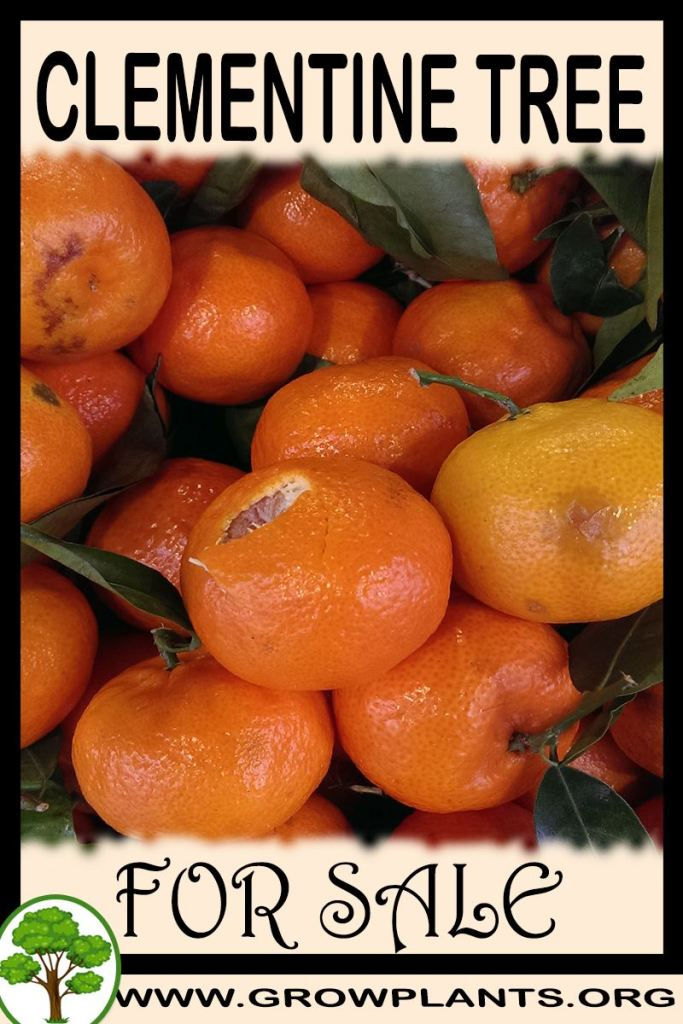 Clementine tree for sale
