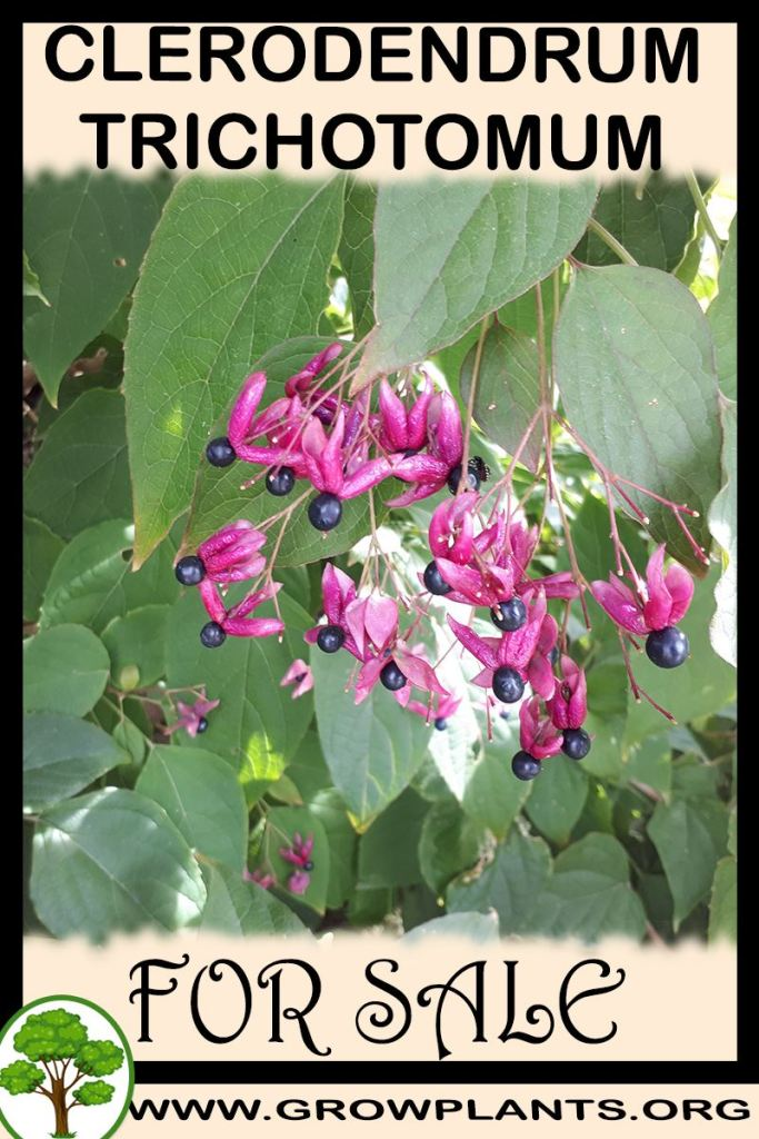 Clerodendrum trichotomum for sale
