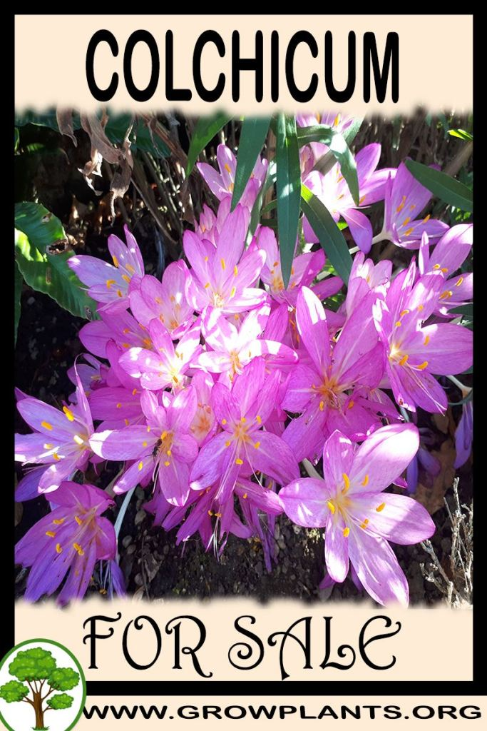Colchicum for sale