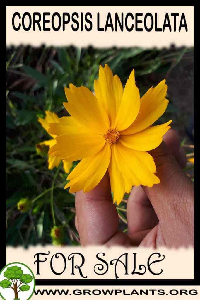 Coreopsis lanceolata for sale