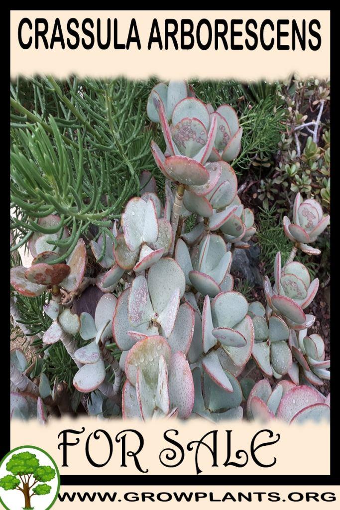 Crassula arborescens for sale