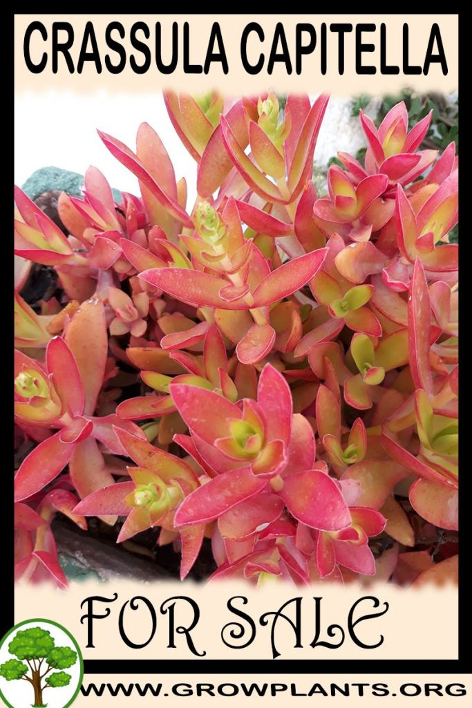 Crassula capitella for sale