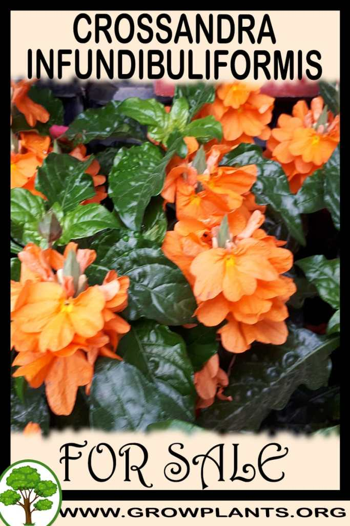 Crossandra infundibuliformis for sale