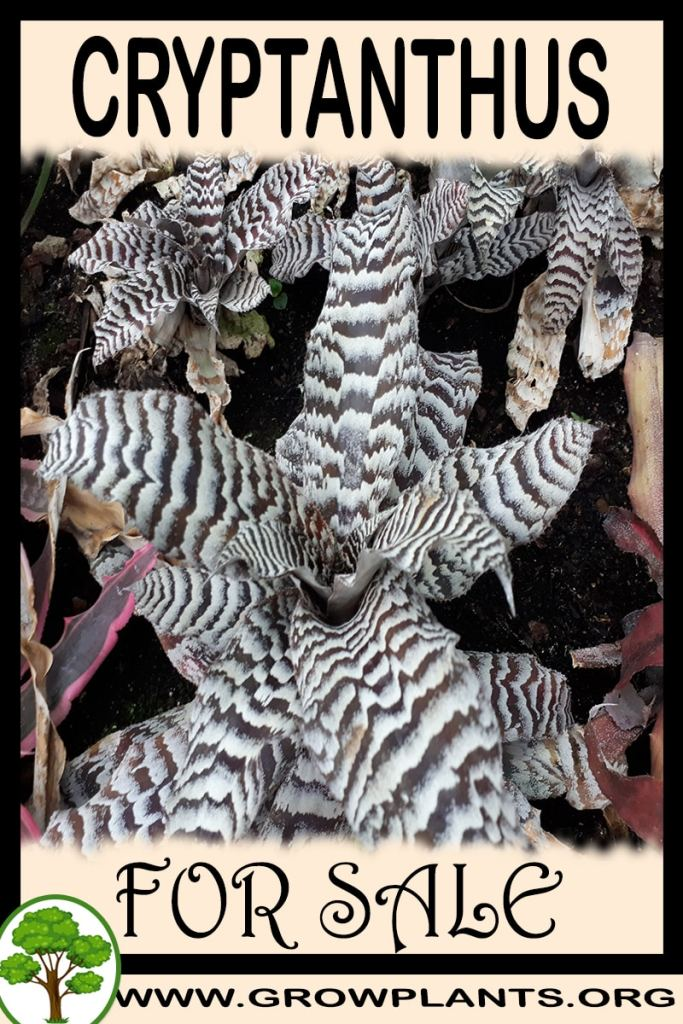 Cryptanthus for sale