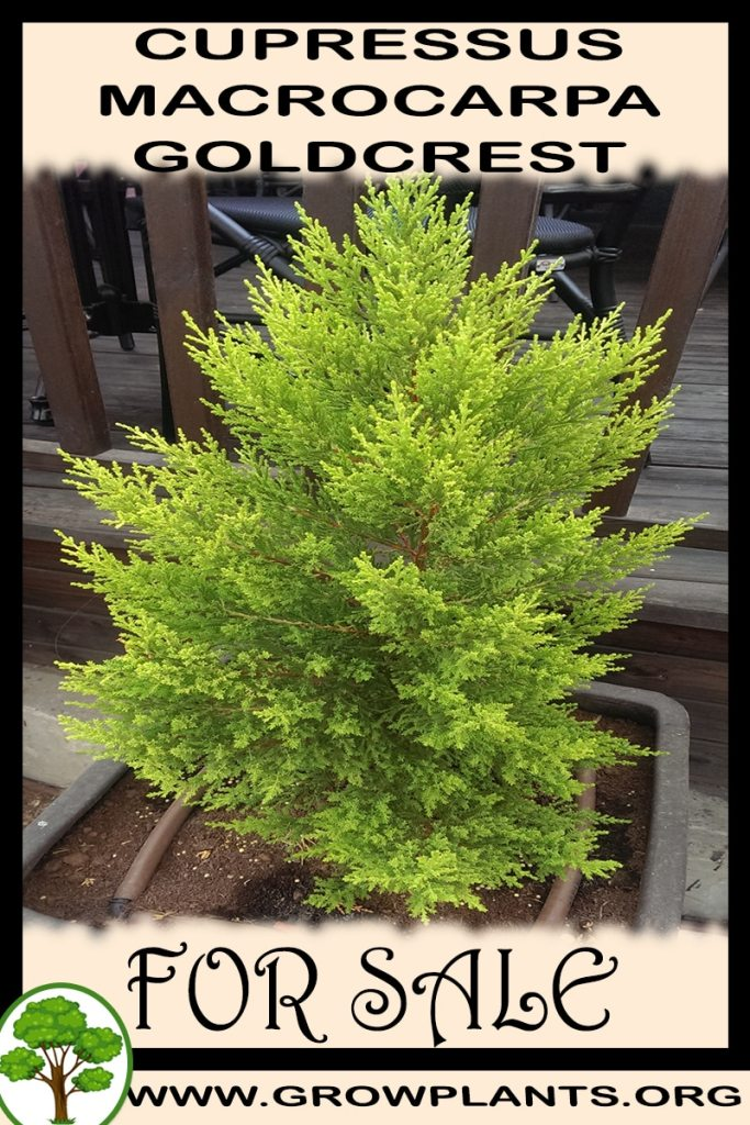 Cupressus macrocarpa goldcrest for sale