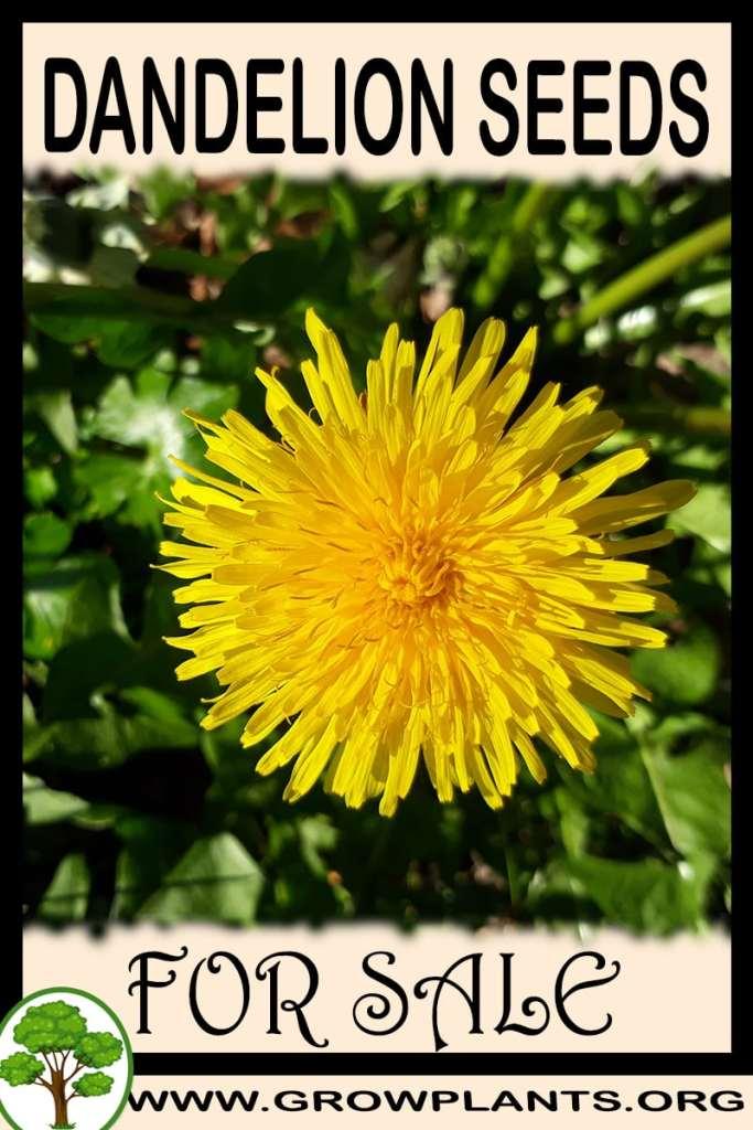 Dandelion seeds for sale