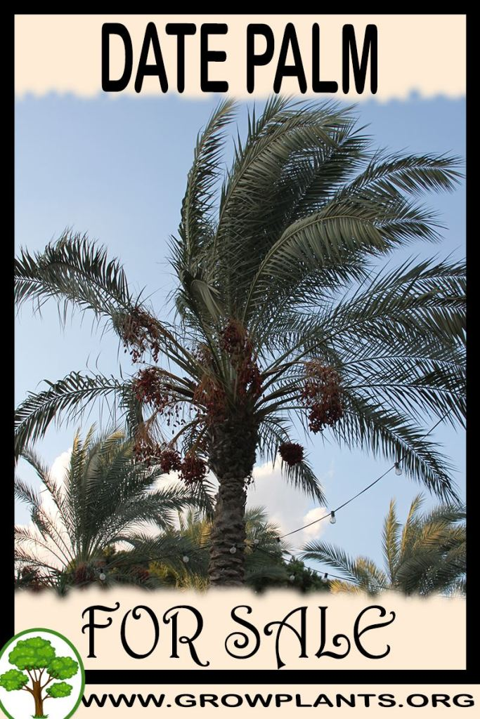 Date palm for sale