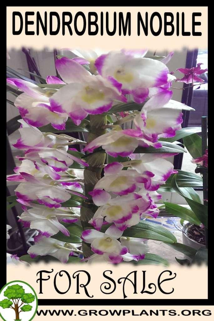 Dendrobium nobile for sale