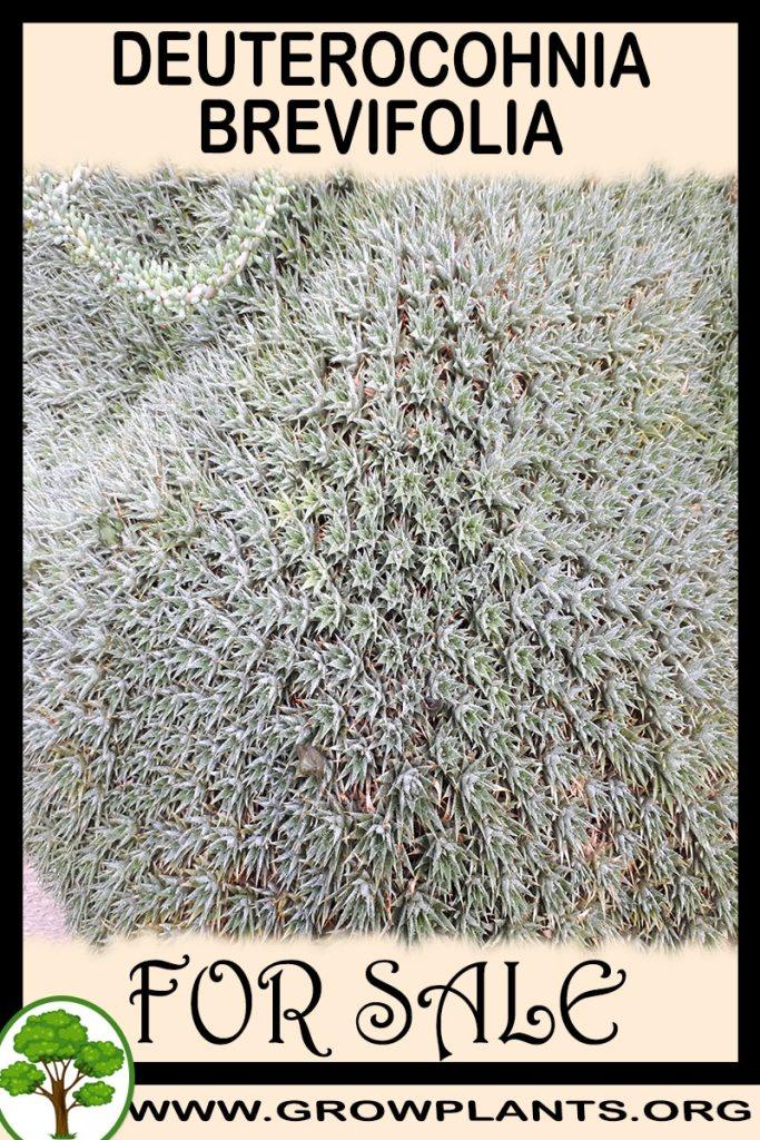 Deuterocohnia brevifolia for sale