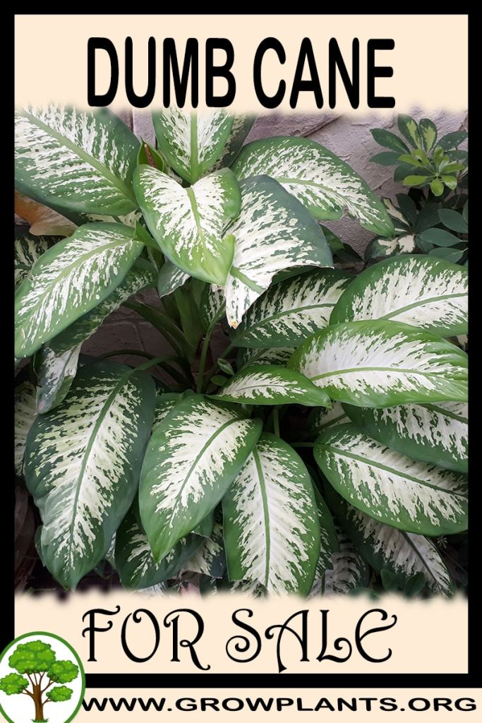 Dumb cane for sale
