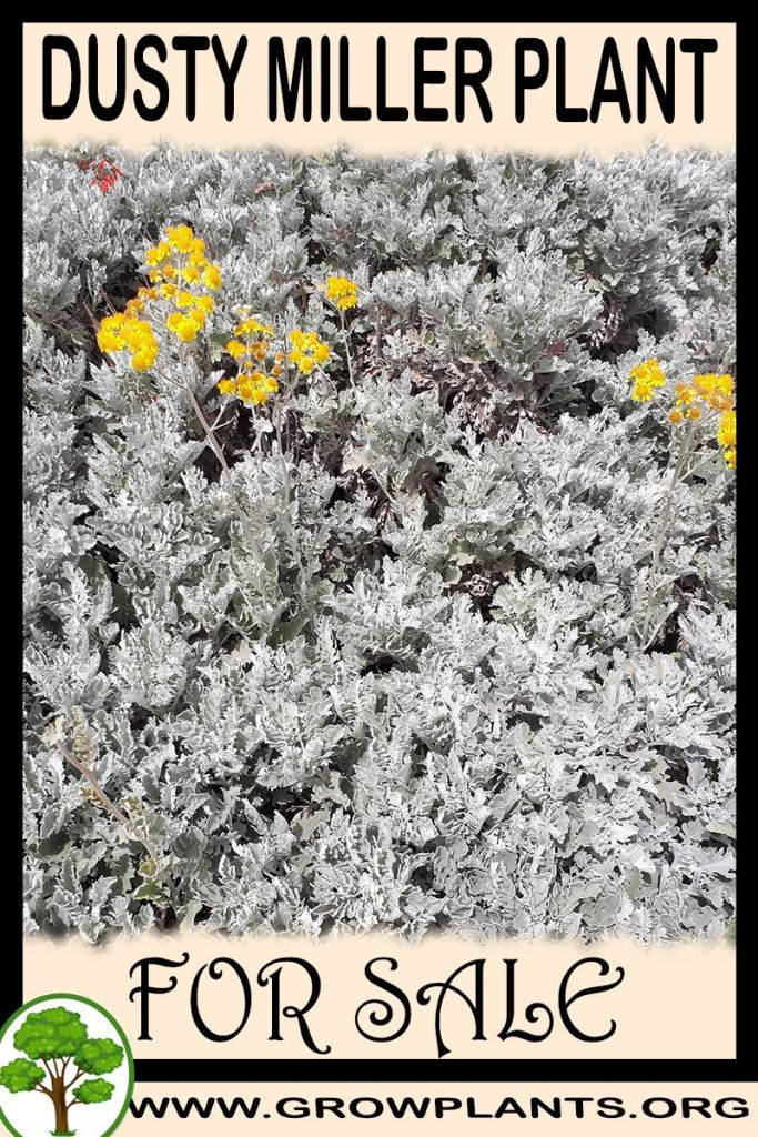 Dusty miller plant for sale