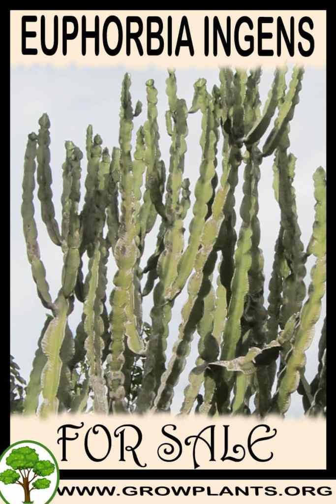 Euphorbia ingens for sale
