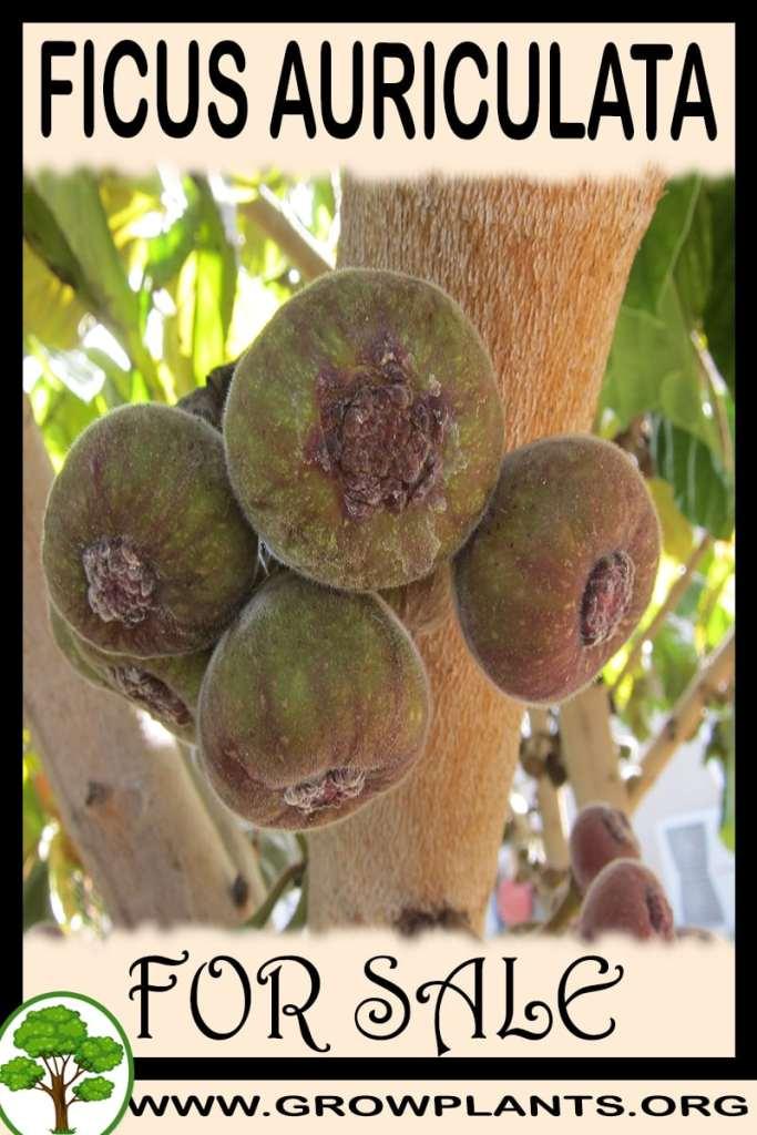 Ficus auriculata for sale