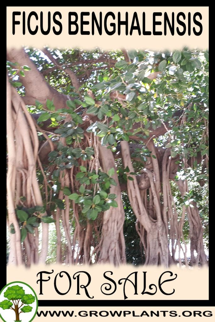 Ficus benghalensis for sale