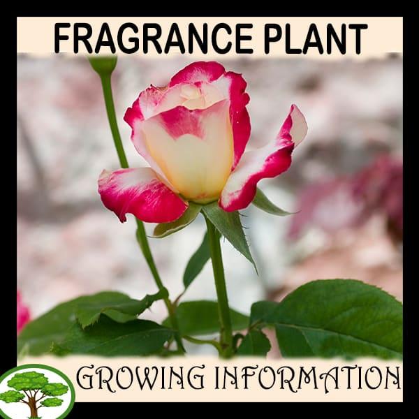 Fragrance plant
