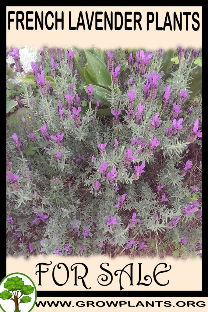 French lavender plants for sale