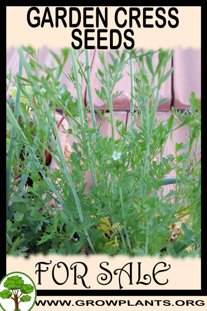 Garden cress seeds for sale