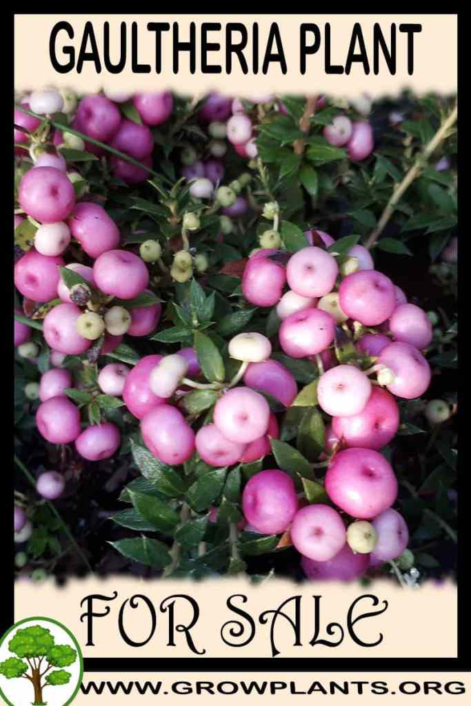Gaultheria for sale