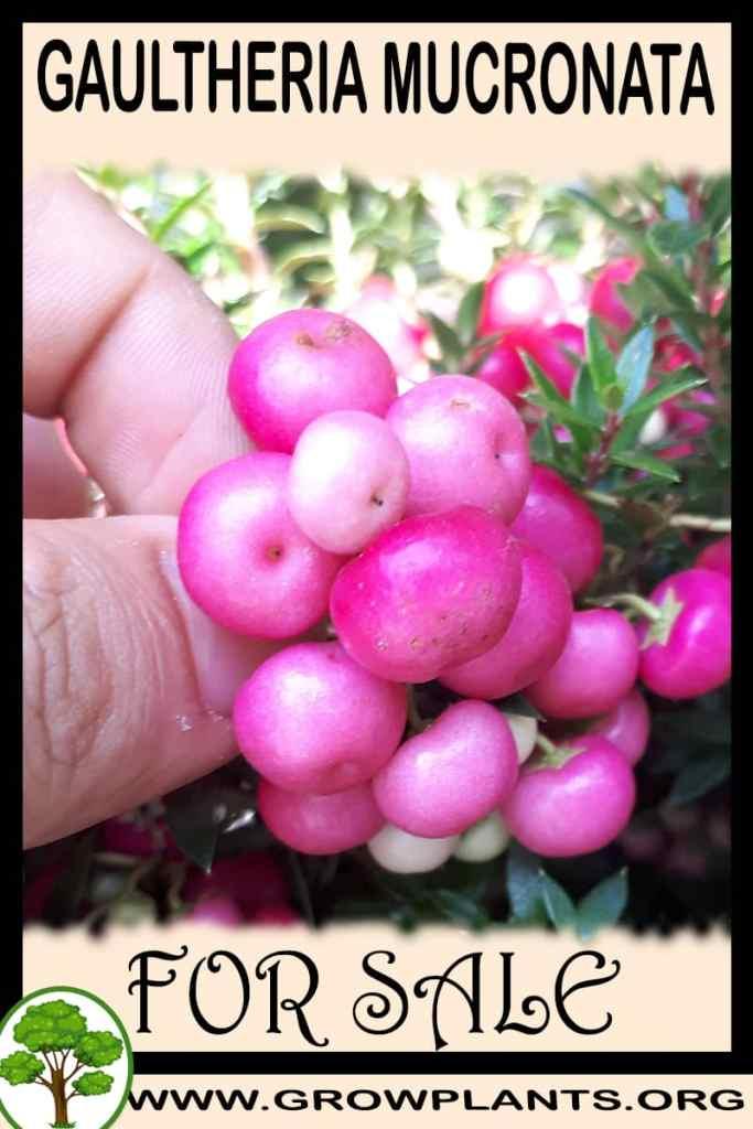 Gaultheria mucronata for sale