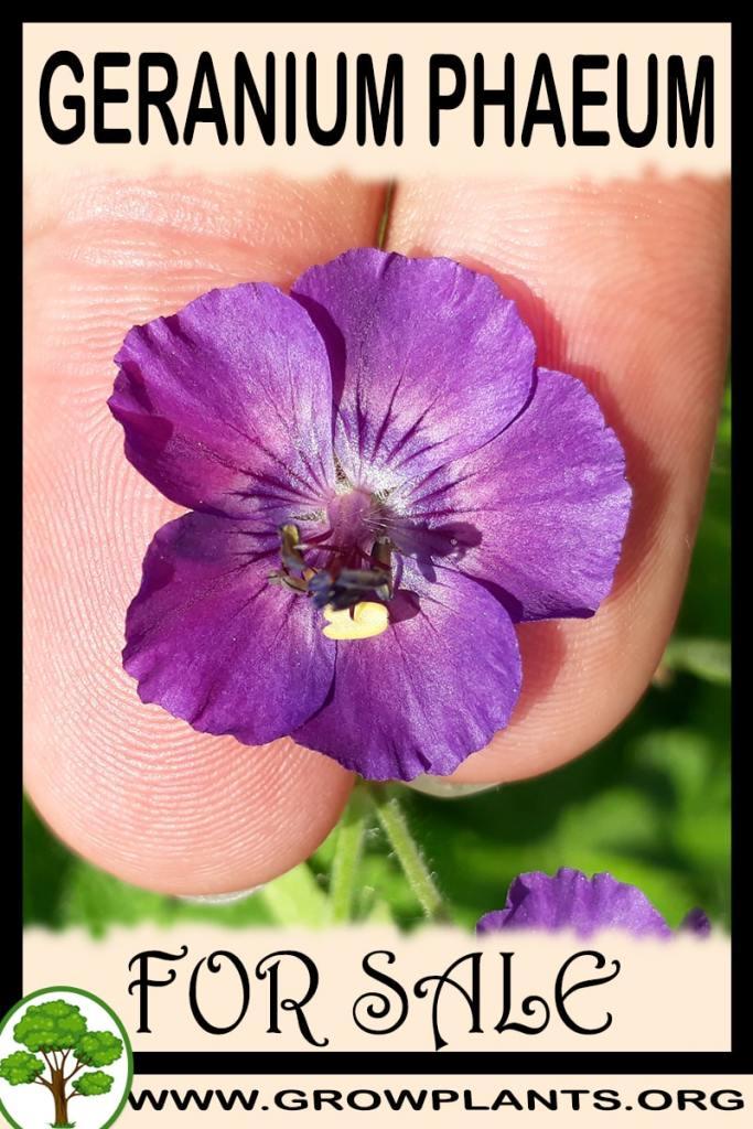 Geranium phaeum for sale