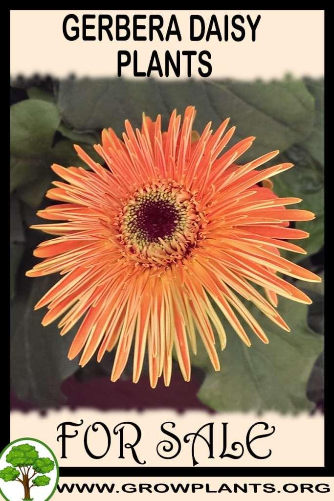 Gerbera daisy plants for sale