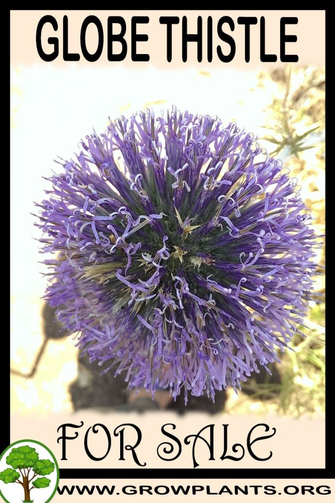 Globe thistle for sale