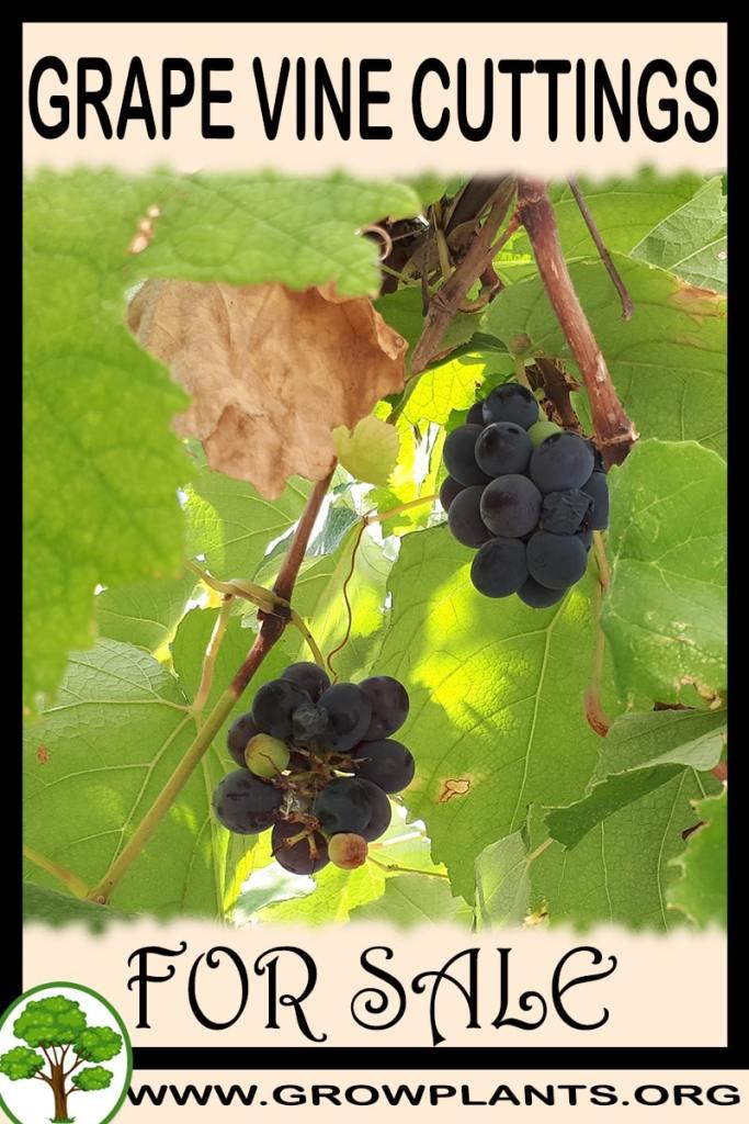 Grape vine cuttings for sale