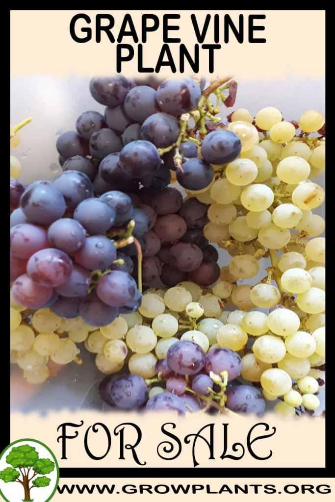 Grape vine plant for sale