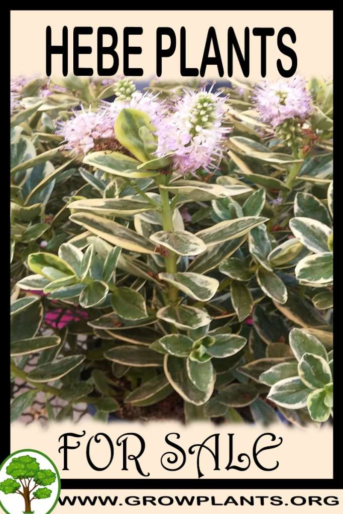 Hebe plants for sale