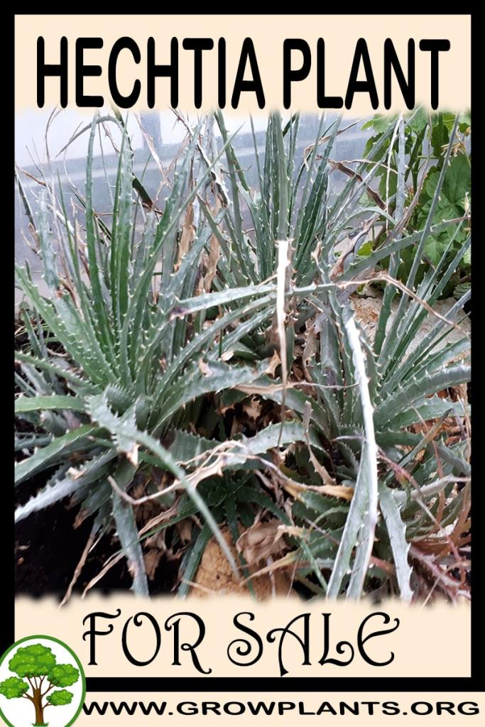 Hechtia for sale