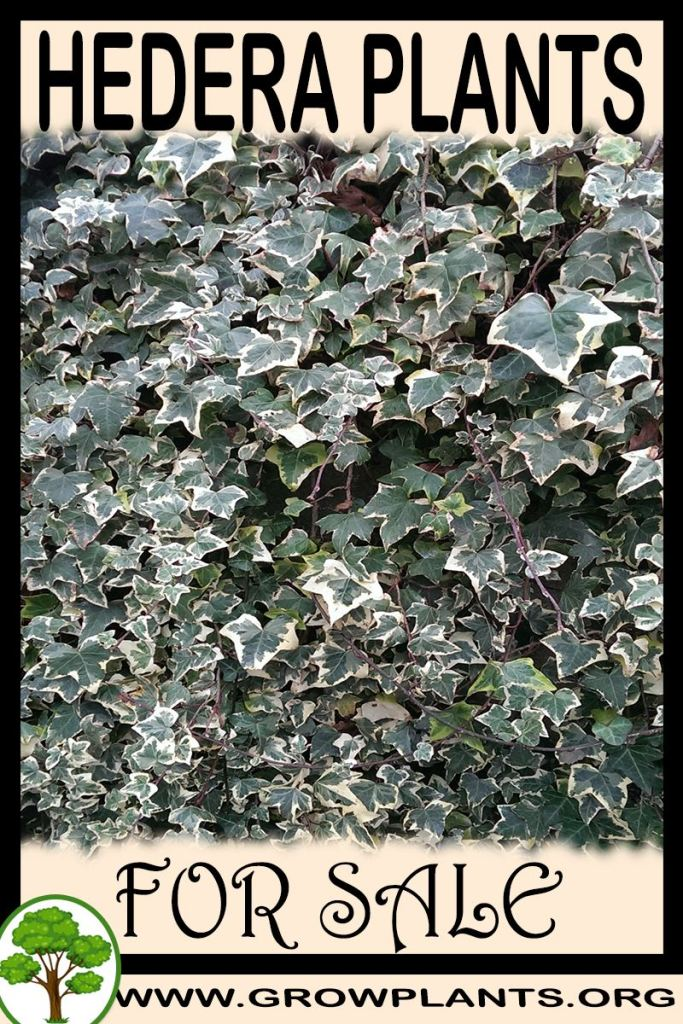 Hedera plants for sale