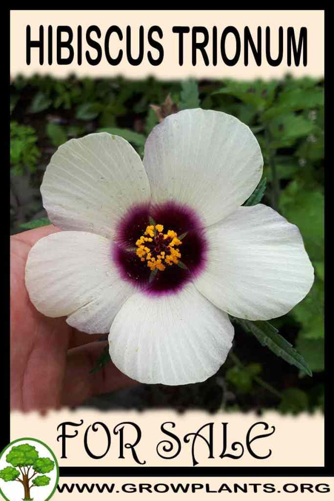 Hibiscus trionum for sale