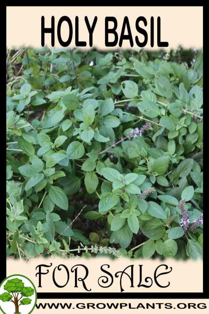 Holy basil for sale