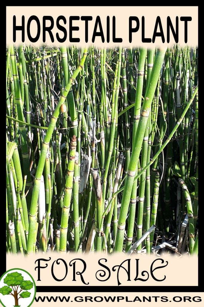 Horsetail plant for sale