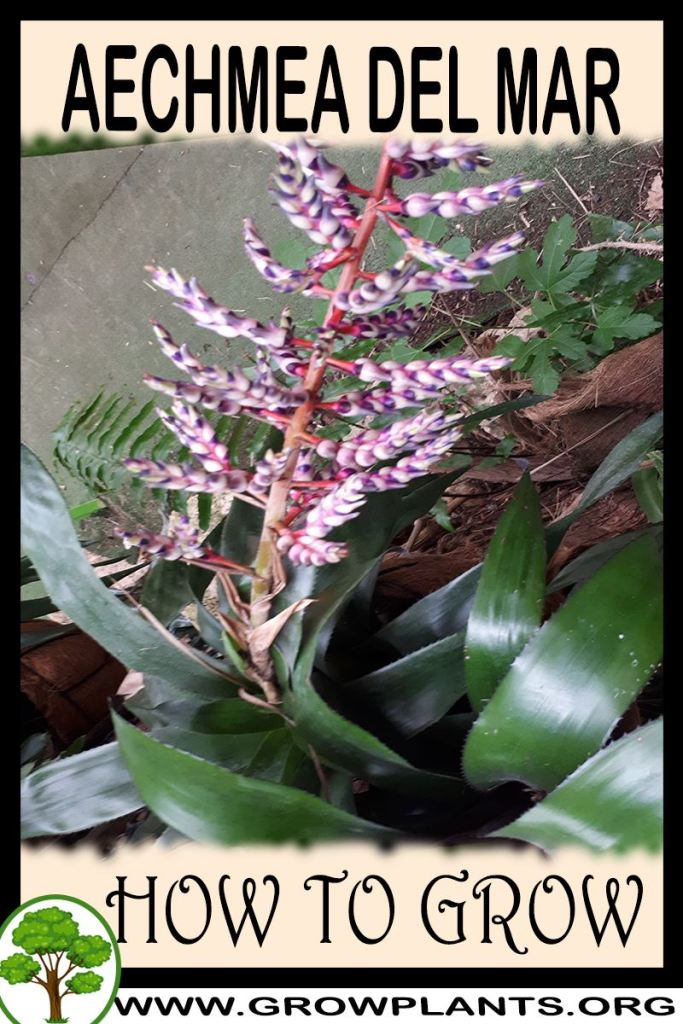 How to grow Aechmea Del Mar