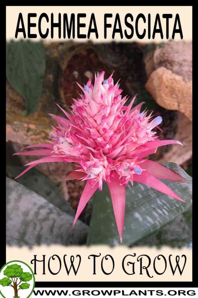 How to grow Aechmea fasciata