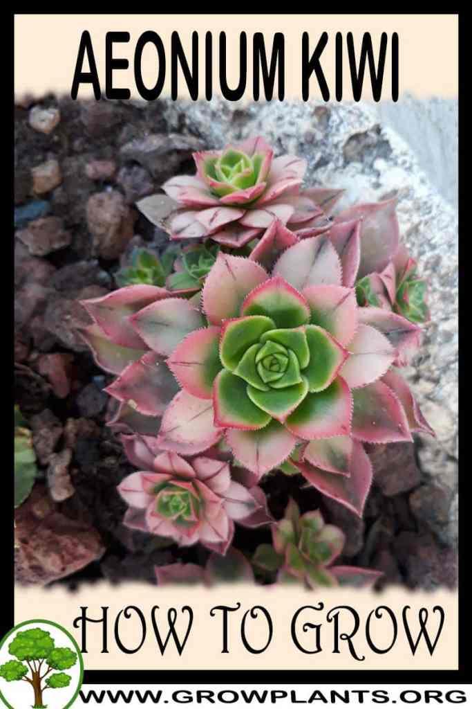 How to grow Aeonium Kiwi