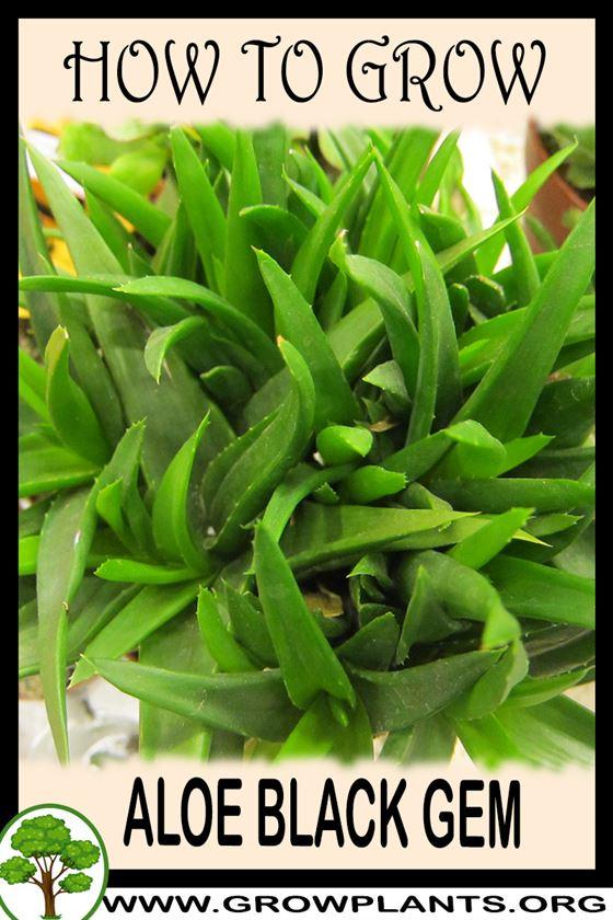 How to grow Aloe black gem